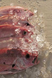 snapper-on-ice