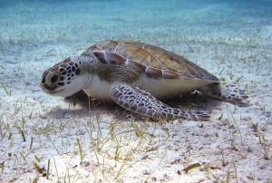 GP-turtles-turtle-treat