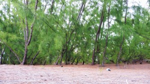This dense mat of Casuarina needles can prevent other plants from growing.