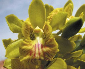 Endemic Caicos Orchid is found nowhere else on earth