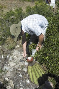 Collecting seeds from the Turk's Head Cactus