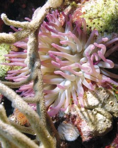 Giant anemone on Turks & Caicos reef