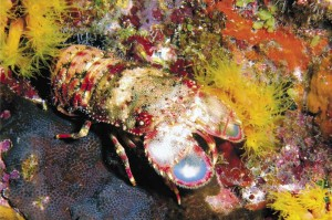 Regal slipper lobster foraging after dark