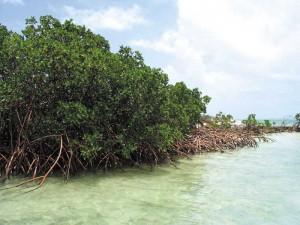 Mangroves flourish along TCI coasts