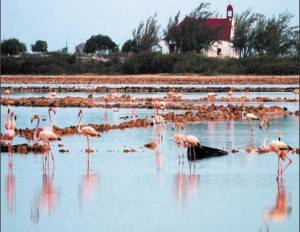 Flamingos feed at Town Pond Salina