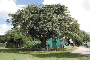 Sandbox Tree in 2010