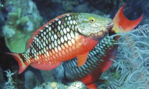 Stoplight Parrotfish initial phase