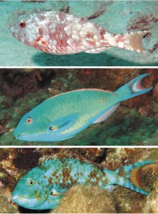 Redtail Parrotfish various stages