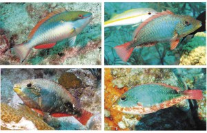 Redband parrotfish varied colors and patterns