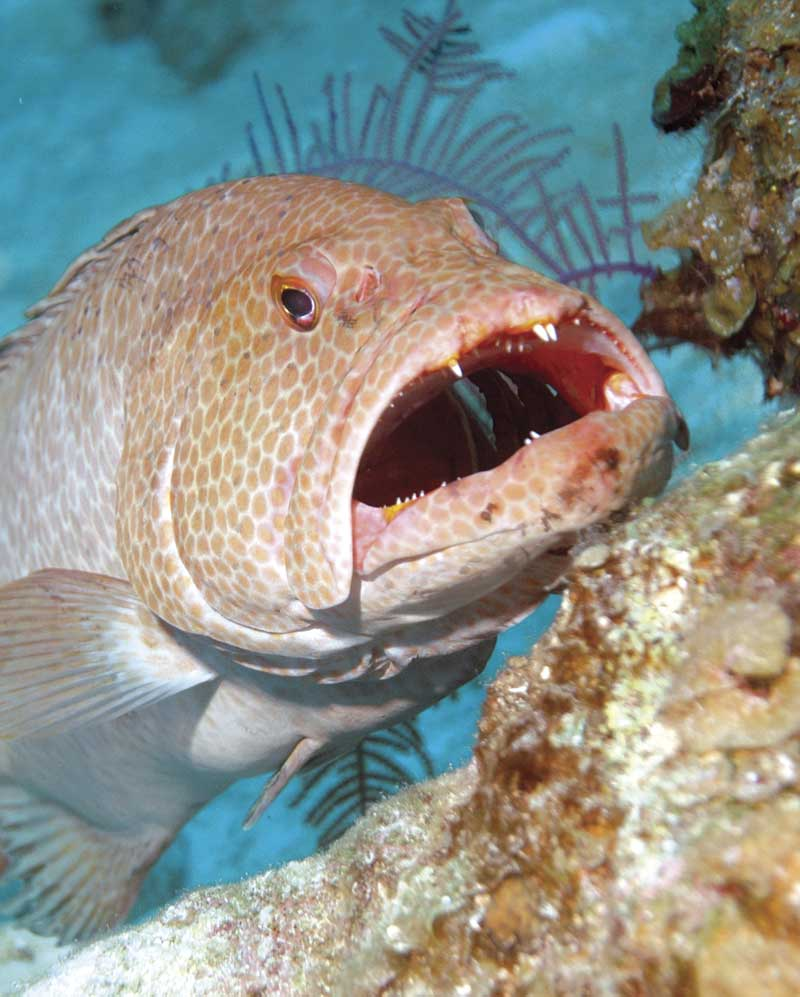 Amazing! Grouper eats 4-foot shark (VIDEO)