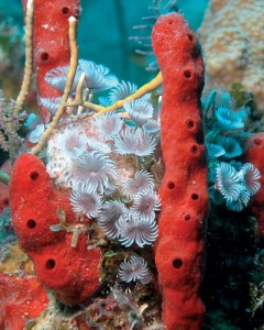Red rope sponges