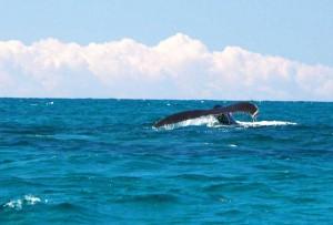 Humpback whale passing Salt Cay