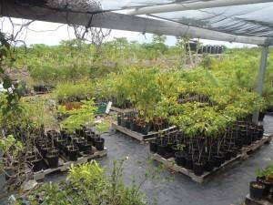Native Plant Conservation Nursery, North Caicos