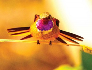 The Bahama Woodstar is the only hummingbird found in TCI.