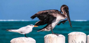 Perched above their ocean pantry are the Royal Tern (at left) and Brown Pelican, the TCI's national bird.