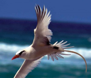 The White-tailed Tropicbird soars gracefully over the sea, nesting on island cliffs.
