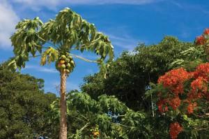 Papaya tree. Paradise Photography