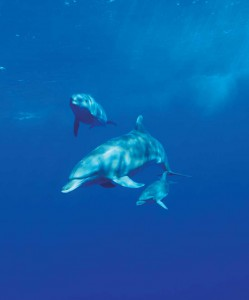 Friendly pod of wild dolphins. Big Blue Unlimited