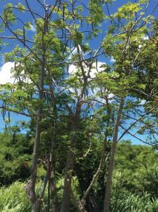 Moringa Tree in North Caicos