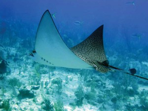 Eagle rays flap their pectoral fins like birds use their wings. Jan Lupton