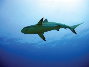 The TCI is home to Caribbean Reef Sharks.