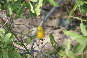 This curious yellow warbler flits through Salt Cay's bush.