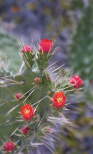 "You know spring is near when the cacti dotting much of TCI's lush ""bush"" blooms."
