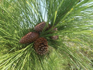 This is a flourishing Caicos pine Pinus caribaea var. bahamensis with open and closed cones.