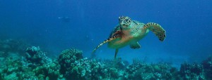 Turtles are common in near shore reefs around the Turks & Caicos.
