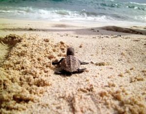 Turtle hatchling making its way to the sea.