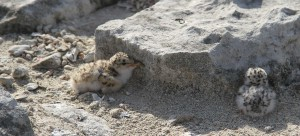 These vulnerable Least tern chicks nest on a small scrape of the earth.