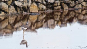Lesser yellowlegs wading in one of South Caicos' abandoned salt ponds.