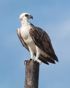 TCI's iconic osprey is a frequent visitor to South Caicos' cays.