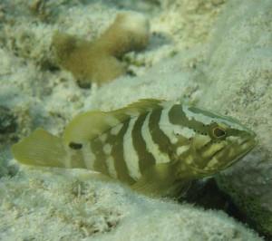 Juvenile Nassau Grouper.