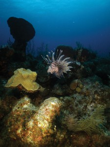 Lion fish are more conspicuous around sunrise and sunset.