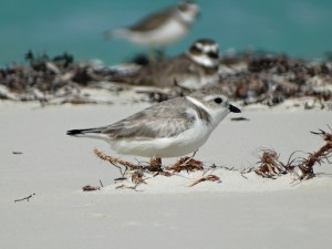 Rare Piping Plovers spotted in Ft. George National Park.