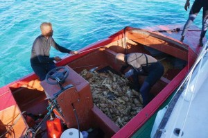 Harvesting local Spiny Lobster is how many South Caicos Islanders have earned a living for decades.