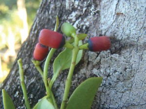 These are mistletoe plants from South Caicos, formerly considered endemic to the mountains of Hispaniola.