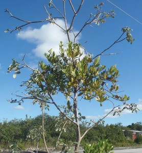 This Caribbean smooth mistletoe is parasitizing a five-fingers plant in North Caicos.