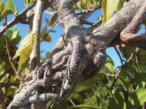 Like talons, the roots of the Caribbean smooth mistletoe grip and penetrate its host plant.