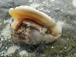 This peek into the conch's shell reveals the live animal.