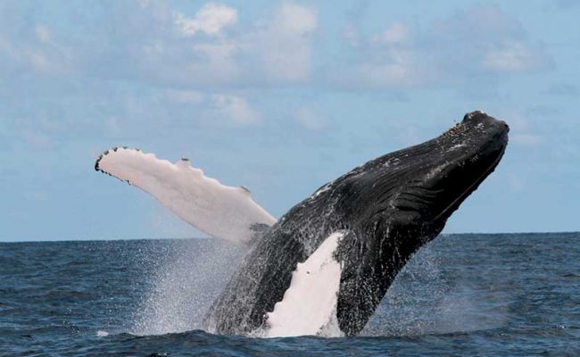 It is incredible to see an adult humpback breaching, and when you hear the thunderous boom it makes, you will never forget the sound.