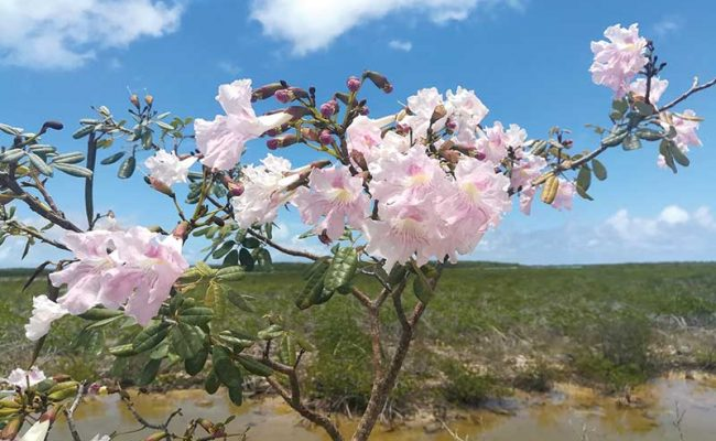 The trees' revival begins with the display of five-fingers' pink blossoms.