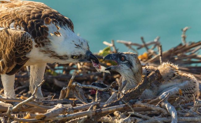 The mother osprey carefully breaks off small bits of the fish to feed the hungry chicks.